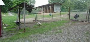 Next Chickens Ducks Turkeys Sheds Included